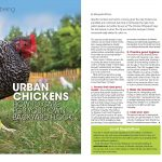 urban chickens