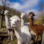 4 alpacas